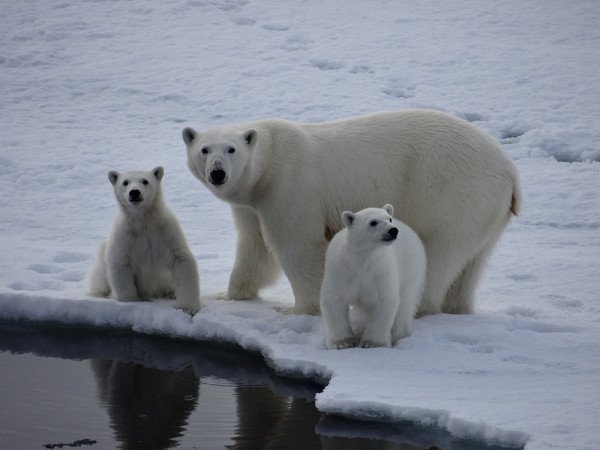Polar bears gaze inquisitively at an Arctic expedition passenger's lens.