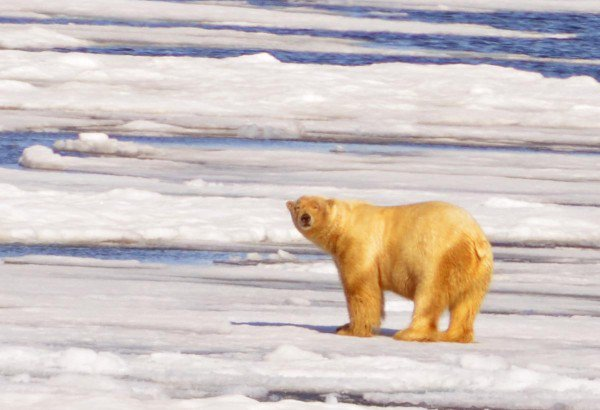 xPolar-Bear.Antarctic-600x410.jpg.pagespeed.ic.1vC7DmWlX2