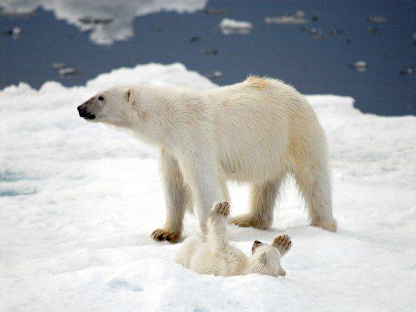 xPolar-Bears-600x450.jpg.pagespeed.ic.qMGF4YOE6V
