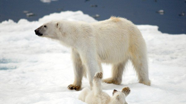 xpolar-bears1-600x337.jpg.pagespeed.ic.09E1AprquC