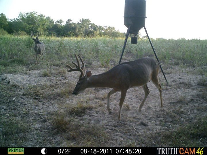 Deer on the lease