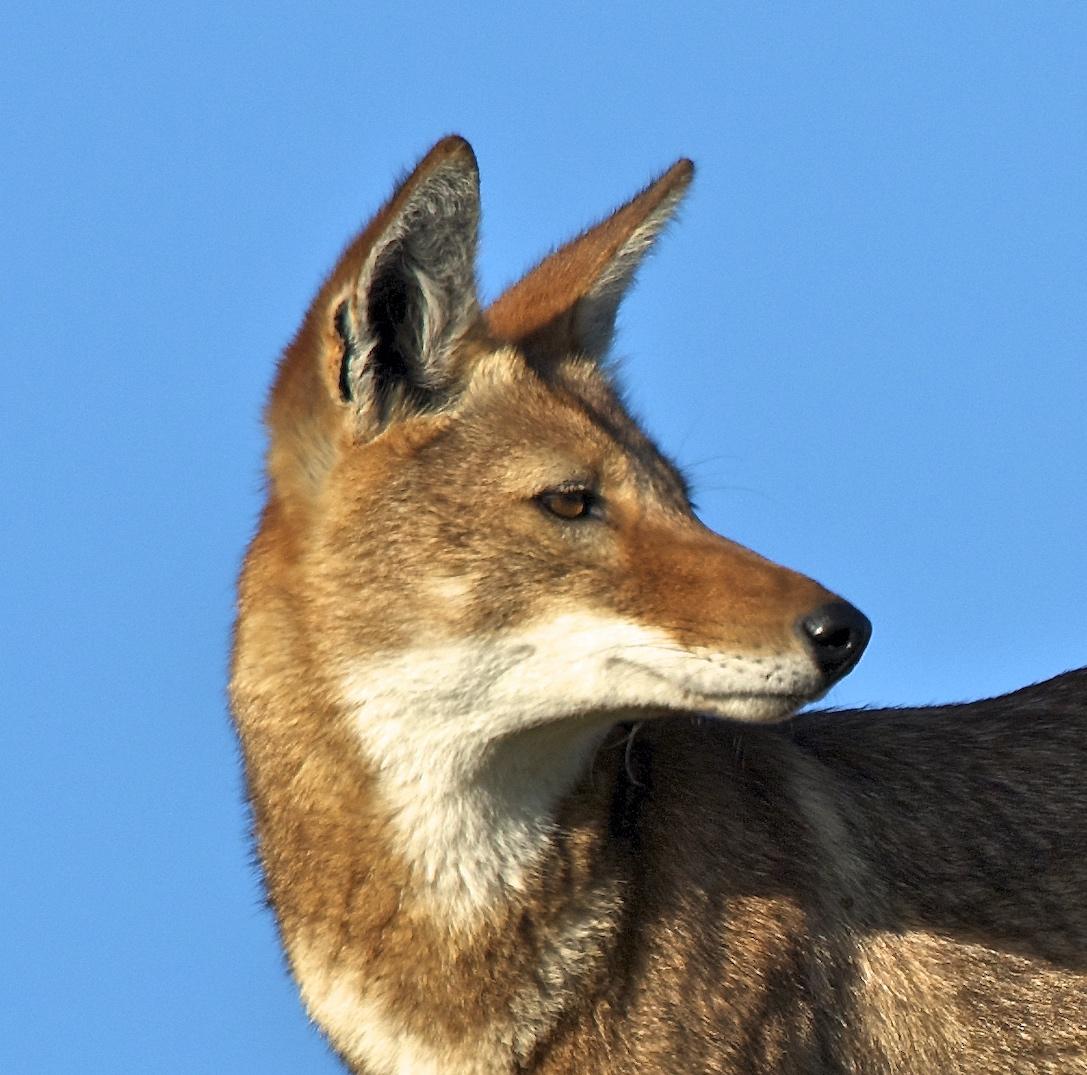 Ethiopian Wolf Conservation Programme