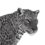 African_leopard_lowres