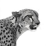 Cheetah_lowres