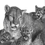 Cougar_lowres