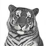 Tiger_lowres