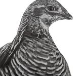 Attwater's_prairie_chicken_lowres