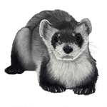 Black-footed_ferret_lowres