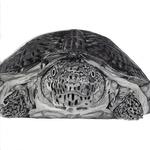 Flattened_musk_turtle_lowres