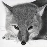 Northern_swift_fox_lowres