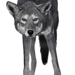 Red_wolf_lowres