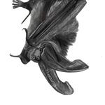 Virginia_big-eared_bat_lowres