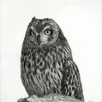 Short_eared_owl_-_lowres