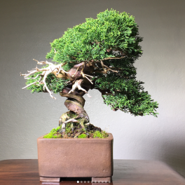 bonsai-asheville-treethepeople-danny-coffey