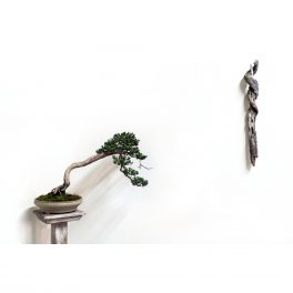 danny-coffey-bonsai-asheville-juniper-riverview-station