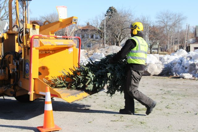 Happy little Christmas tree goes in to the mulcher for its new task - mulching the City of Milwaukee.