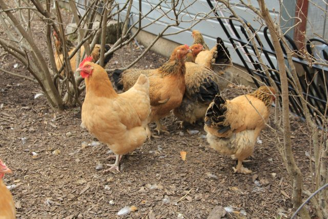 Chicken's at the Royal Roost headquarters, Karen's Pewaukee home, go for an afternoon strut through the yard.