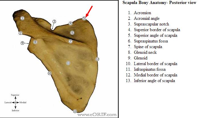 Structural Kinesiology – Shoulder Girdle (Outline) | Genius