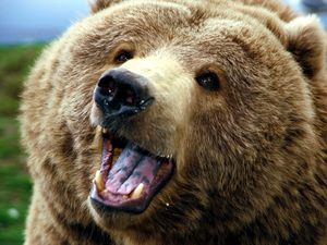 1358289151_72764_15672_animals_bear_grizzly_bear