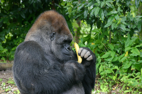 What Food Does A Chimpanzee Eat