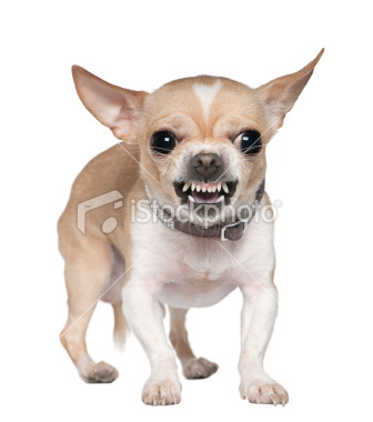 Image result for yapping little dog
