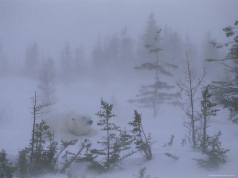norbert-rosing-a-polar-bear-rests-amid-e