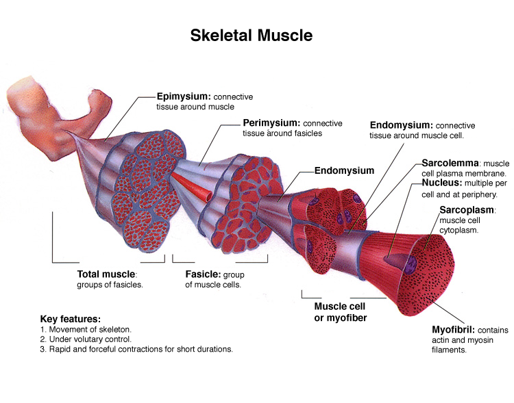 B. Perimysium – Introduction To The Muscular System