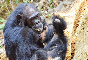 A picture of a mother chimpanzee nursing a baby chimpanzee on the forest floor.