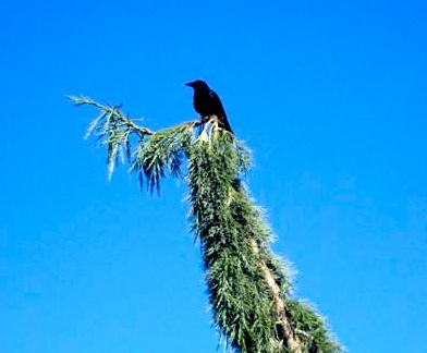6.crow-in-tree.jpg