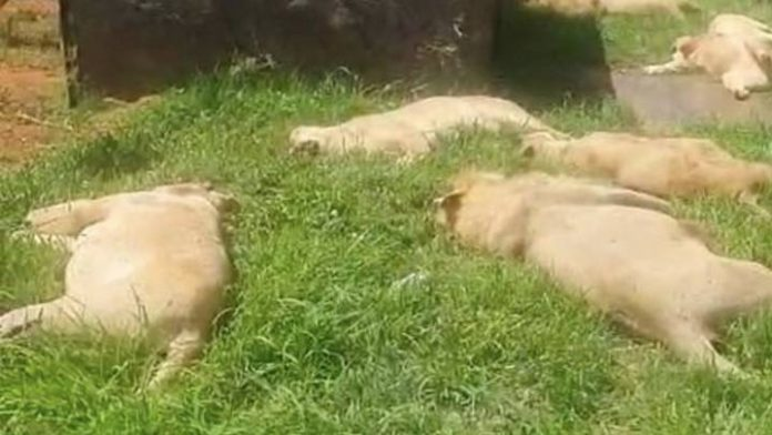 Lions poisoned