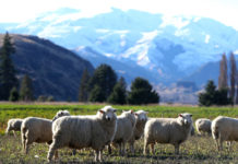 Sheep on a farm in Queenstown, New ZealandGetty Images