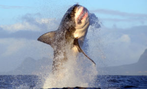 Great Whie Shark