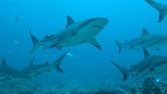 Half a million sharks could die to save us from COVID-19