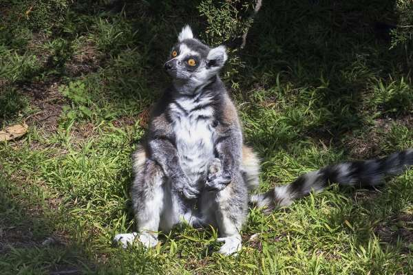 Maki The Lemur was found after being stolen from the San Francisco Zoo