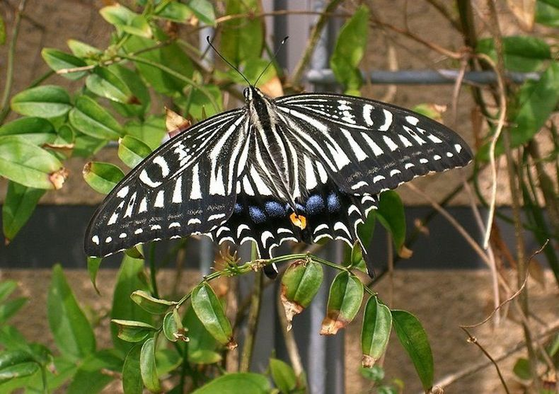 The Japanese yellow swallowtail butterfly has photoreceptors on its genitalia.