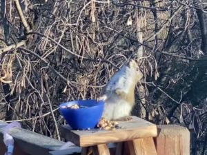 Look at this squirrel drunk-wobble after eating fermented pears in Minnesota