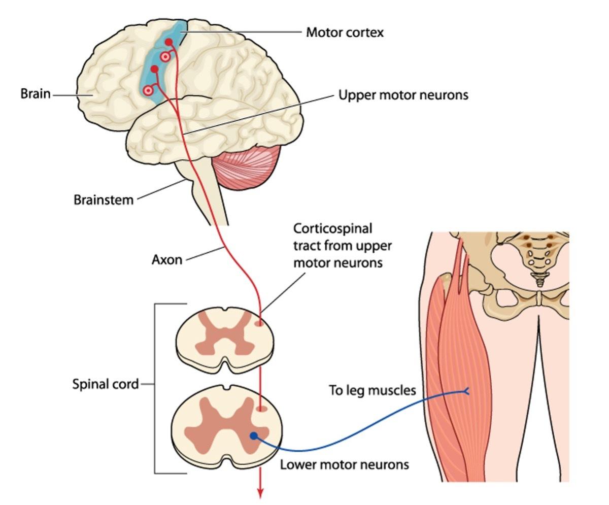 Upper Motor Neurons and Lower Motor Neurons diagram