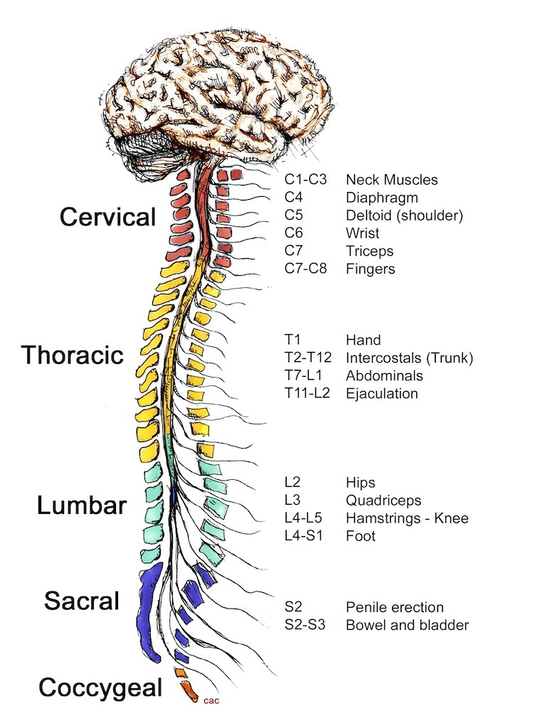 Diagram Of The Spine | How The Spinal Cord Works Living With Paralysis Reeve Foundation