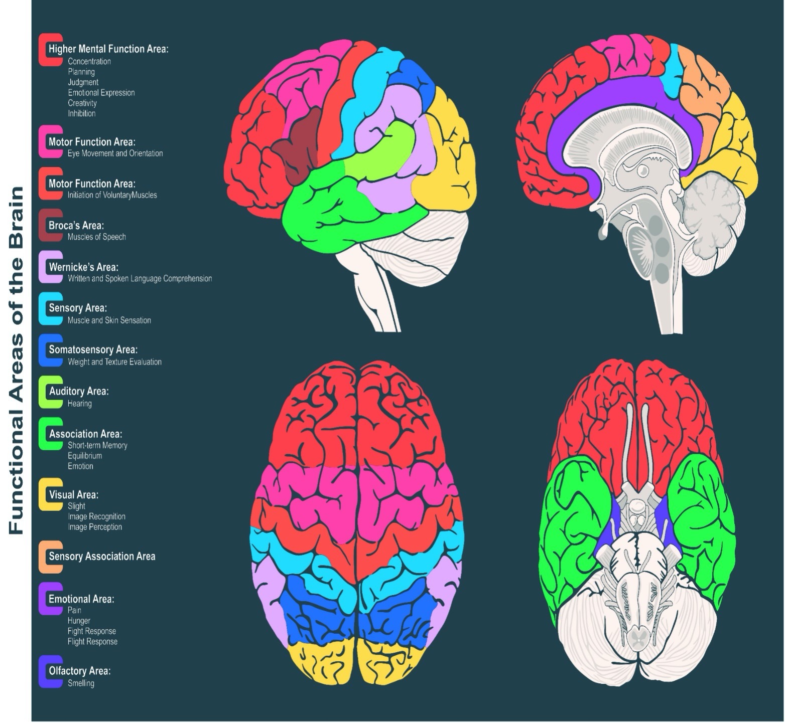 function areas of the brain