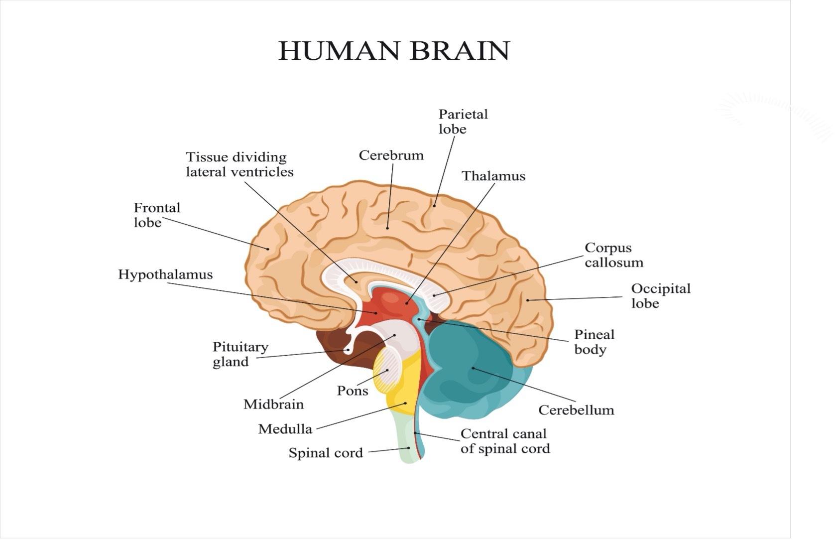 Human brain graph