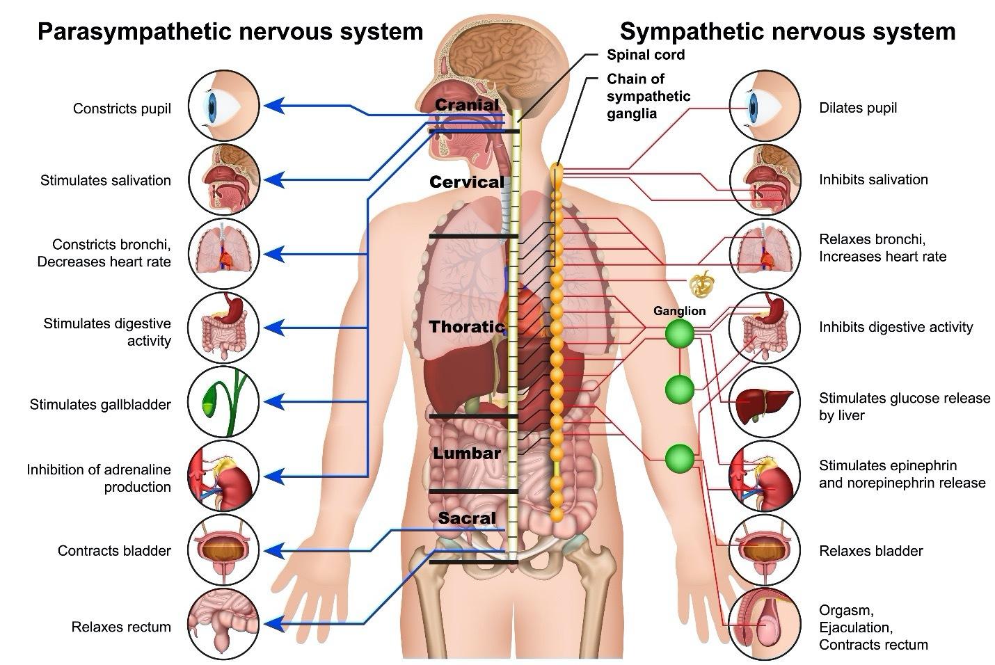 Sympathetic and Parasympathetic Nervous Systems diagram