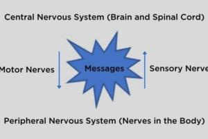 Sensory Nerves