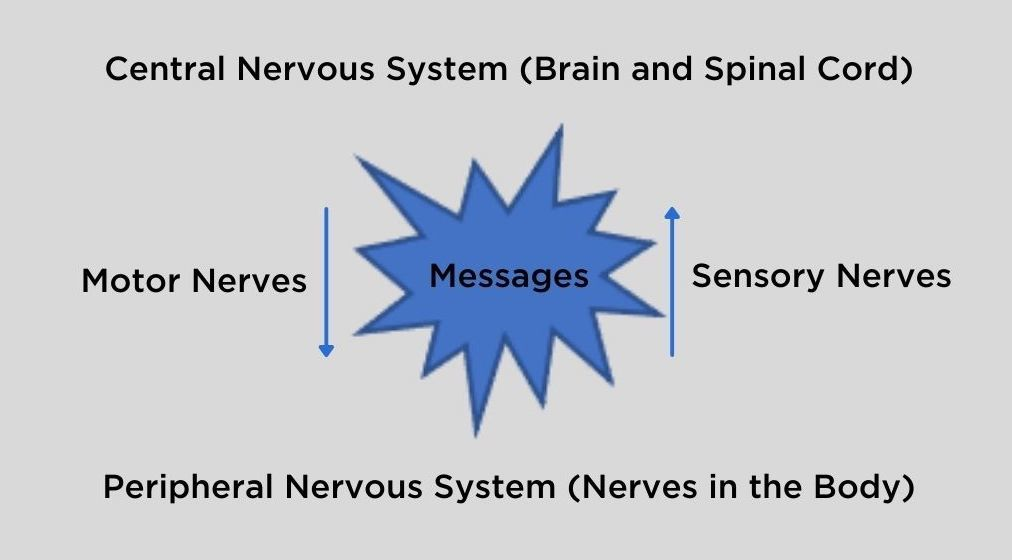 Central Nervous System (Brain and Spinal Cord)  Motor Nerves Messages Sensory Nerves  Peripheral Nervous System (Nerves in the Body)