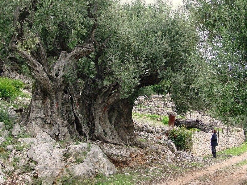 In Holy Land, Protecting One of the World's Oldest Olive Trees Is a 24/7 Job