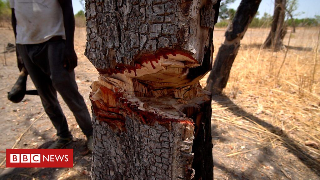 The Million-Dollar Trade in Trafficked 'Blood' Trees