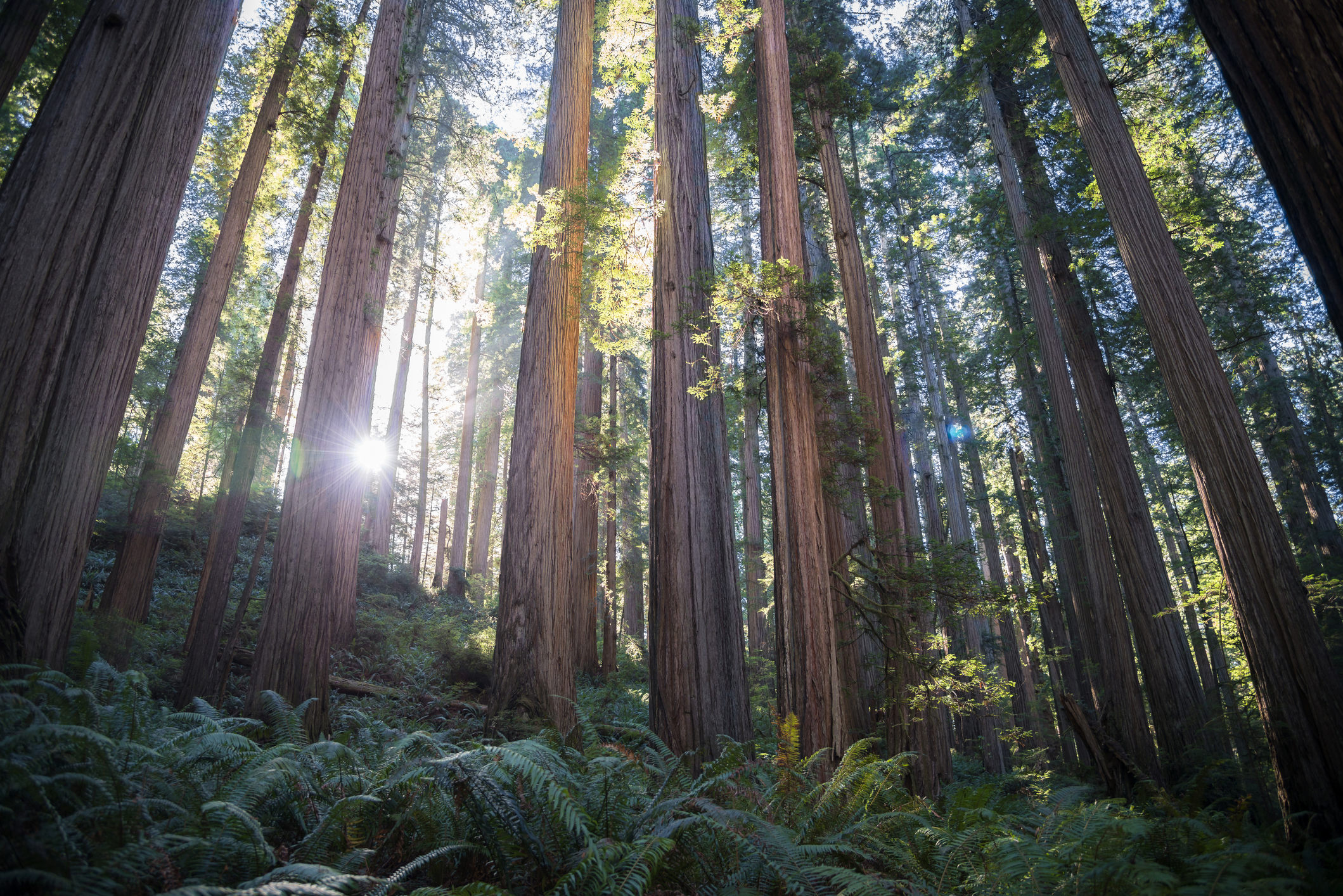 Can Redwoods Save the World?