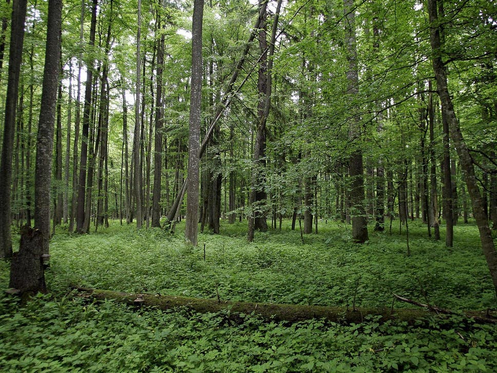 The Fight to Save Poland's Ancient Forest from Destruction