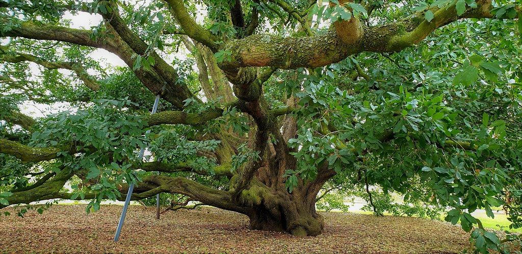The Oak Tree That Taught the World a Lesson