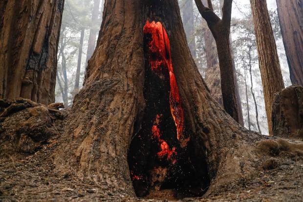 Ancient 'Big Basin' Redwoods  Survive Scorching