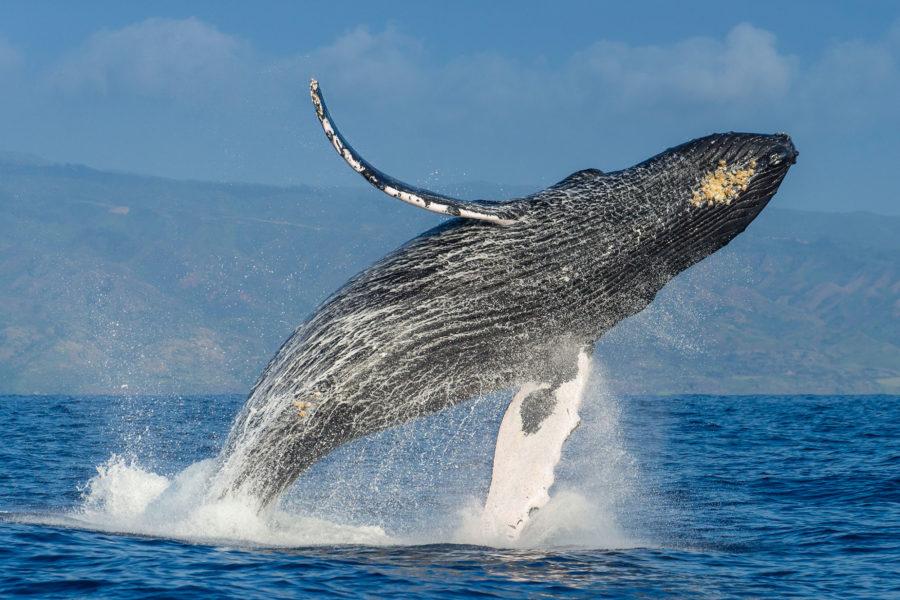 01 23 Humpback Whale